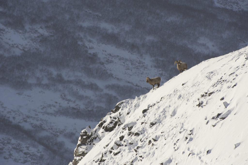Kamchatka Trophy Hunts - sheep hunts bighorn